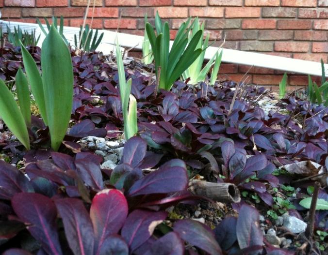 spring daffodil shoots